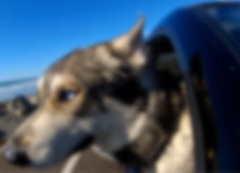 Dogs in Cars: California