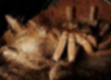 Molting Tarantula Time-Lapse