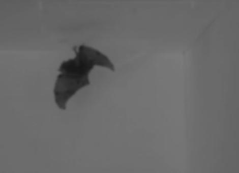 Bat Flips
