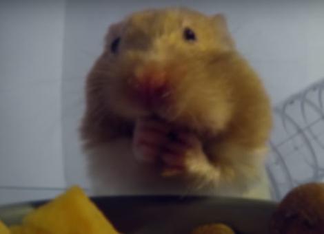 Hamster Stuffs Cheeks