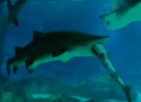 Shark Eats Shark