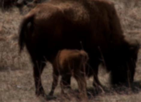Baby Buffalos