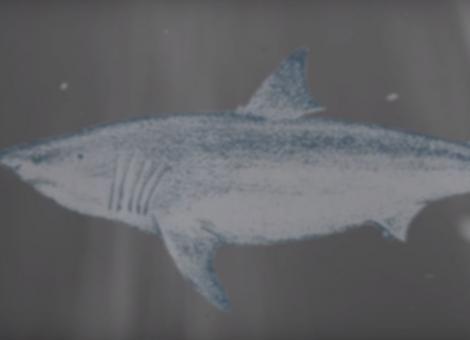 Why No Aquarium has a Great White Shark