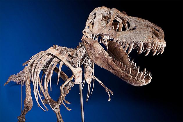 Tyrannosaurs Skeleton