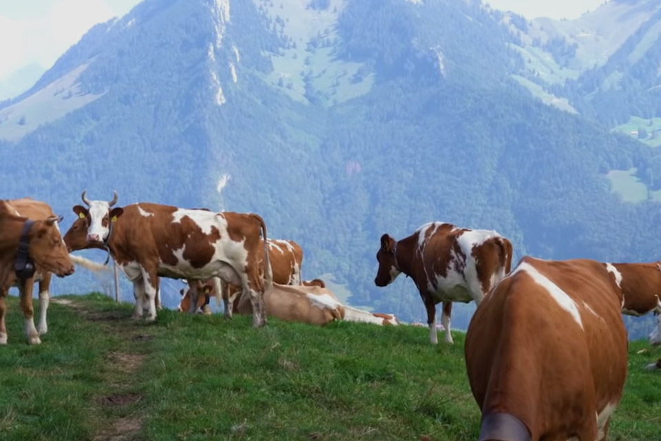 Making Gruyere in the Swiss Alps